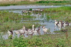 Free Family Of Geese In Water Stock Images - 72905204