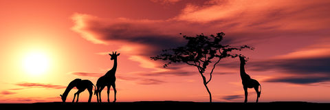 Free Family Of Giraffes Stock Images - 2481064
