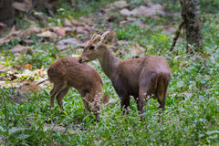 Family Of Hog Deer(Hyelaphus Porcinus) Royalty Free Stock Photography