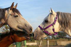 Family Of Horses Royalty Free Stock Photography