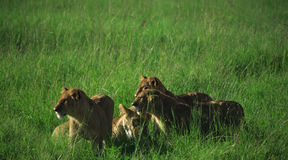 Family Of Lions Stock Photography