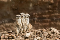 Free Family Of Meerkat Or Suricate Royalty Free Stock Photography - 75781557