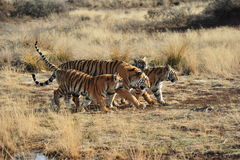 Free Family Of Tigers Royalty Free Stock Images - 43562989