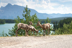 Family Of Wild Bighorn Sheep Grazing By Two Jack Lakeside Stock Photography