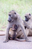 Family of Olive Baboon on the road Stock Photography
