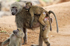 Family of olive baboons (Papio Anubis) Royalty Free Stock Image