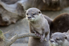Family Oriental small-clawed otter, Amblonyx cinerea, during games Stock Images