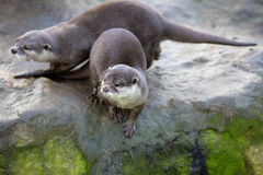 Family Oriental small-clawed otter, Amblonyx cinerea, during games Royalty Free Stock Images