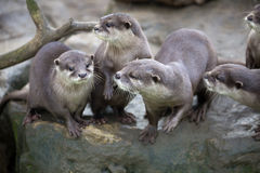 Family Oriental small-clawed otter, Amblonyx cinerea, during games Stock Photos