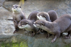 Family Oriental small-clawed otter, Amblonyx cinerea, during games Stock Photo