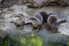 Family Oriental small-clawed otter, Amblonyx cinerea, during games Royalty Free Stock Image