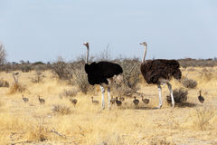 Family of Ostrich with chickens, Namibia Royalty Free Stock Photo