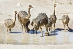 Family of ostriches drinking water from a pool in hot sun of the Royalty Free Stock Images