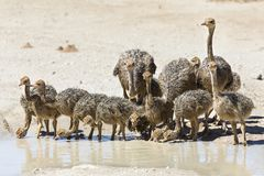 Family of ostriches drinking water from a pool in hot sun of the Royalty Free Stock Photos