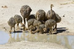 Family of ostriches drinking water from a pool in hot sun of the Royalty Free Stock Image