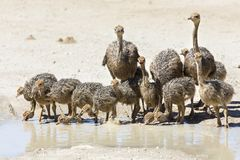 Family of ostriches drinking water from a pool in hot sun of the Stock Photography