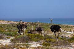 A family of ostriches walking to the sea. A family of ostriches walking Royalty Free Stock Photo