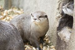 Otters. Family of otters at entrance to their holt Royalty Free Stock Photography