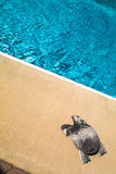 Family outdoor swimming pool and a Silver turtle Royalty Free Stock Photography