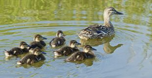 Family outing. Female mallard duck swimming on still water followed by six small ducklings Royalty Free Stock Images