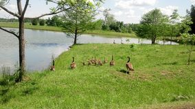 Family outing. Family of geese going on an outing to the pond Royalty Free Stock Photos