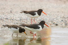 Family of oystercatchers wading in the water Stock Images