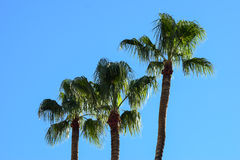 A family of palms Royalty Free Stock Photography