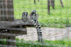 Family Party-Ring-tailed lemur-Lemur catta. Belonging to primate primates, with long kisses and two lateral eyes resembling fox, named for its tails. There are 5 Stock Photos