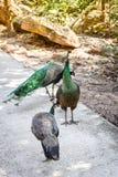 Family Peacock Stock Photography