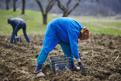 Family of peasants sowing potatoes. Family of peasants cultivating potatoes on a fresh plowed field Royalty Free Stock Photo