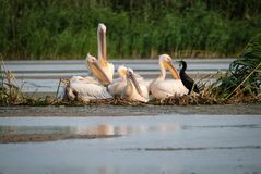 Family of pelicans and a cormorant family resting stock images