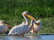 Family of pelicans in Danube Delta royalty free stock image
