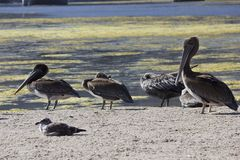 Family of Pelicans on Malibu lagoon. MALIBU, USA - AUG 16 2013: Family of four Pelicans on Malibu lagoon Royalty Free Stock Images