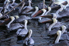 Family of pelicans Royalty Free Stock Photography