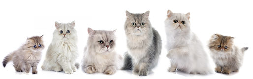 Family persian cats Royalty Free Stock Photo