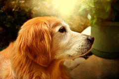 Family pet. This golden retriever is the main family pet Royalty Free Stock Photo