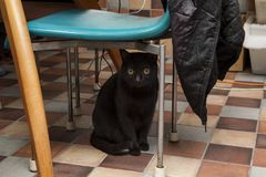 Family pets, black cats, hiding under the tables and chairs. Cute family pets, black domestic cats, hide and seek under the table and chairs with the owner Stock Photos