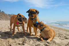 Family Photo. Three puggles at the beach wearing the doggles Royalty Free Stock Images