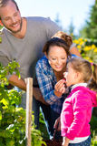 Family picking berries in garden. Family with mother, father and daughter picking berries from blackberry bush in the garden Royalty Free Stock Image