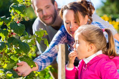 Family picking berries in garden. Family with mother, father and daughter picking berries from blackberry bush in the garden Royalty Free Stock Photography