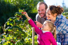 Family picking berries in garden Royalty Free Stock Photos