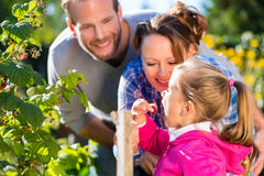 Family picking berries in garden Royalty Free Stock Photo