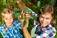Family picking red cherry from tree. In summer garden royalty free stock photos
