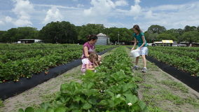 Family picking strawberries. Mother and two daughters picking strawberries in field stock video