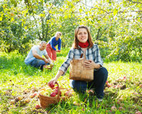 Family picks apples in  orchard Stock Photography