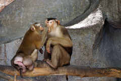 Family of pig-tailed macaque. Royalty Free Stock Photos