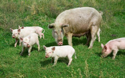 Family of pigs Royalty Free Stock Photos