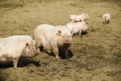 Family of pigs Royalty Free Stock Image