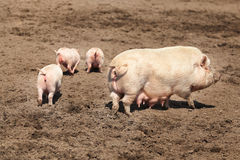 Family of pigs Royalty Free Stock Photography