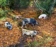 Pigs hunt for food in a stream in the New Forest. A family of pigs hunt for food in a stream in the New Forest Royalty Free Stock Photo